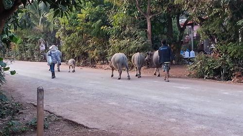 はじめての散歩 モウ疲れたよ~ タイの動物・生き物