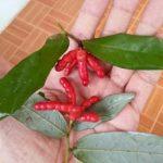 タイの赤い木の実 ピッパー タイの食べ物