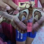 タイの巨大な蝶々?もしかして巨大な蛾?