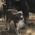 タイの珍味 牛の胎盤ノーンクワーイ