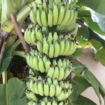 バナナの実の付き方とバナナの切り分け方