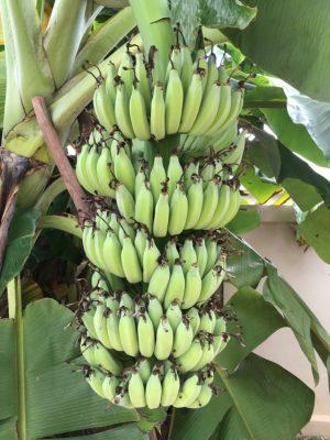 タイのバナナ