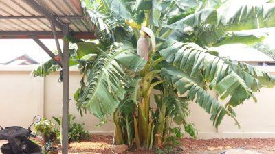 バナナのツボミ