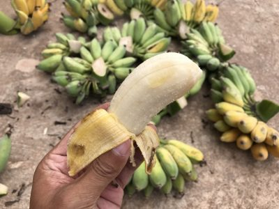 採れたてのバナナ
